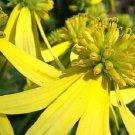 YELLOW IRONWEED / WINGSTEM / ACTINOMERIS FLOWER 50 SEEDS