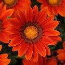GAZANIA NEW DAY BRONZE FLOWER 30 SEEDS