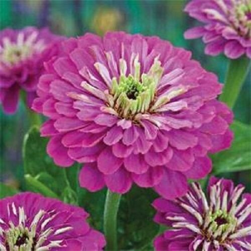 LAVENDER ZINNIA ELEGANS FLOWER 35 SEEDS