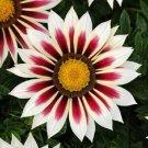 GAZANIA NEW DAY RED STRIPE FLOWER 30 SEEDS