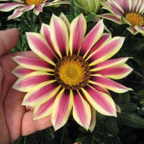GAZANIA NEW DAY ROSE STRIPE FLOWER 30 SEEDS