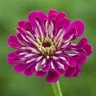 GIANT WINE ZINNIA FLOWER 35 SEEDS