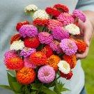 ZINNIA OKLAHOMA MIX FLOWER 50 SEED MIX