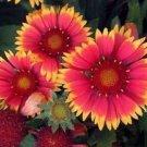 GAILLARDIA BIJOU FLOWER 30 SEEDS