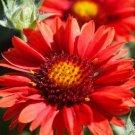 GAILLARDIA RED ARIZONA FLOWER 30 SEEDS