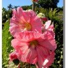 GIANT DANISH HOLLYHOCK FLOWER 50 SEEDS