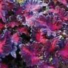 COLEUS BLACK DRAGON SHADE LOVING FLOWER 50 SEEDS