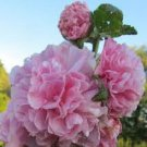 PINK GIANT DANISH DOUBLE HOLLYHOCK FLOWER 30 SEEDS