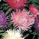 OSTRICH PLUME ASTER CUT FLOWER ASSORTMENT FLOWER 40 SEED MIX