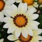 GAZANIA KISS WHITE FLOWER 30 SEEDS