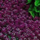 MAROON SWEET FRAGRANT ALYSSUM FLOWER 60 SEEDS