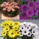 OSTEOSPERMUM FLOWER 20 SEEDS MIX / PERENNIAL