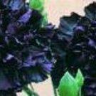 KING OF BLACKS CARNATION FLOWER 30 SEEDS