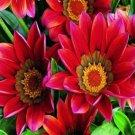 GAZANIA KISS MAHOGANY FLOWER 30 SEEDS