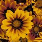 GAZANIA BRONZE STAR FLOWER 30 SEEDS