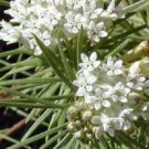 ICE BALLET PURE WHITE BUTTERFLY WEED ASCLEPIAS FLOWER 30 SEEDS