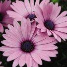 PINK OSTEOSPERMUM FLOWER 20 SEEDS