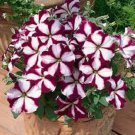 STAR BURGANDY PETUNIA FLOWER 30 SEEDS