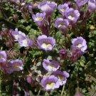 ANTIRRHINUM LAVENDER BI-COLOR SNAPDRAGON FLOWER 30 SEEDS