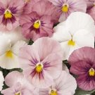 PANSY PANOLA PINK SHADES FLOWER SEEDS