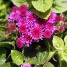 AGERATUM RARE HAWAIIAN SHELL PINK FLOWER 50 SEEDS