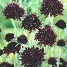 ACE OF SPADES BLACK PINCUSHION SCABIOSA FLOWER 35 SEEDS