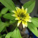 VANILLA SPRITE CREEPING ZINNIA FLOWER 30 SEEDS ANNUAL