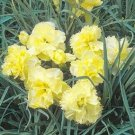 CARNATION GRENADIN YELLOW EVERGREEN PERENNIAL FLOWER 30 SEEDS