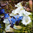 CREAM AND BLUE GENTIAN FLOWER 50 SEEDS