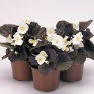 GORGEOUS BEGONIA NIGHTLIFE PURE WHITE FLOWER 30 SEEDS