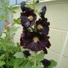 DANISH BLACK HOLLYHOCK FLOWER 50 SEEDS