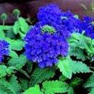 VERBENA BLUE LAGOON PERENNIAL FLOWER 35 SEEDS