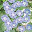 CAPRICE MORNING GLORY FLOWER 25 SEEDS
