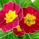 CARLET RUFFLED PRIMROSE FLOWER 15 SEEDS
