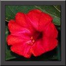 SCARLET RED FOUR O CLOCK FLOWER 40 SEEDS