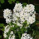 WHITE DAMES ROCKET FLOWER 50 SEEDS
