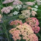 ACHILLEA SUMMER PASTELS MIX / YARROW FLOWER 50