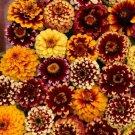 AZTEC SUNSET MIX ZINNIA FLOWER 50 SEEDS