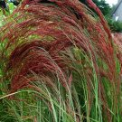 ERAGROSTIS RUBY SILK ORNAMENTAL GRASS 50 SEEDS