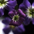 RARE INDIGO FORGET-ME-NOT 60 FLOWER SEEDS