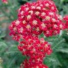 RED VELVET ACHILLEA / YARROW FLOWER 50 SEEDS