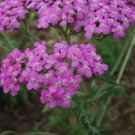 LILAC COLOR ACHILLEA / YARROW FLOWER 50 SEEDS