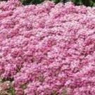 PINK SWEET FRAGRANT ALYSSUM FLOWER 60 SEED