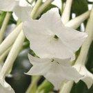 WHITE NICOTIANA SYLVESTEIS FLOWER 50 SEEDS