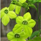 GREEN NICOTIANA FRAGRANT FLOWER 50 SEEDS