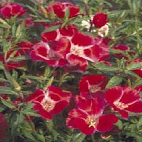 GODETIA FRANDIFLORA METEOR CLARKIA FLOWER 50 SEEDS