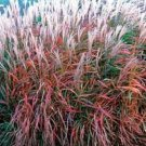 MISCANTHUS FLAME GRASS ORNAMENTAL GRASS 30 SEEDS