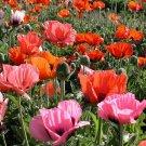 POPPY ORIENTALE MIXED 275 Seeds