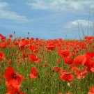ANZAC POPPY Single Red Flanders REMEMBRANCE 350 Seeds