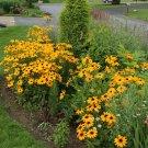 RUDBECKIA GLORIOSA DAISY MIXED 270 Seeds